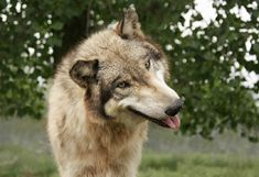 What do wolves look like? - Wolfpark