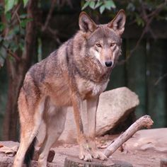 Red Wolf - Fresno Chaffee Zoo