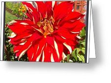 Red And White Dahlia  Greeting Card by Susan Garren