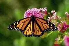 una mariposa monarca en algodoncillo