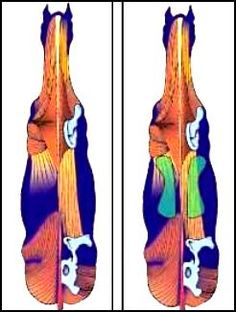 equine spine anatomy | The taller your horse and the longer its neck, the later full fusion ...