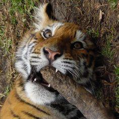 "Black Jaguar-White Tiger on Instagram: ""Rainbow by @chris.bjwt #babyrainbowbjwt #savetigers #saveourplanet #behuman #notpets #nosonmascotas #blackjaguarwhitetiger #rescuedtigers"""