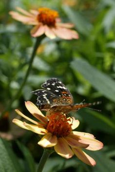 The Zinnia 'Profusion' series is mildew-resistant and produces flowers until frost