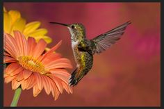 A hummingbird visiting a coral Gerbera Daisy