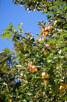 Pacific Crabapple Malus fusca fruits grow in clusters and are yellow to reddish purple. fruits are ~15mm in length. taste of raw fruit is so...