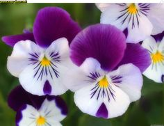 Most Beautiful Flowers Photos Beautiful Flowers Hd Wallpapers, Beautiful Flowers Photos, Romantic Flowers, Amazing Flowers, Pretty Flowers, Purple Flowers, Spring Flowers, White Flowers, Purple Petunias