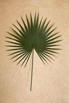 Google Image Result for http://www.allenmims.com/data/photos/50_1dwarf_palmetto_frond.jpg