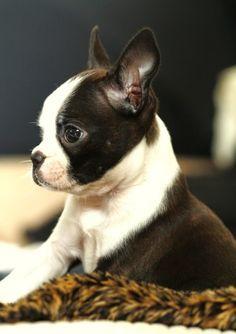 Faint-Worthy Frenchie