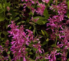 Agastache Tutti Frutti - Draught-resistant perennial for front stoop.