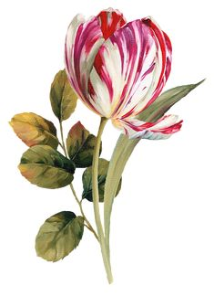 Joy Design Studio: Flower Painting_By Lisa item) Botanical Drawings, Botanical Illustration, Art Floral, Botanical Flowers, Botanical Prints, Clipart, Watercolor Flowers, Watercolor Art, Impressions Botaniques