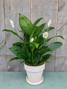 The peace lily - thought to bring good luck to those in its presence! The peace lily was featured in the January 2019 Plant Package.