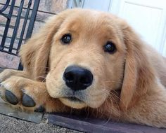 Jameson the Golden Retriever, I promise I'll watch for You & The Kids Forever! Puppies And Kitties, Cute Puppies, Cute Dogs, Awesome Dogs, Corgi Puppies, Dogs Golden Retriever, Golden Retrievers, Dog Rates, Golden Puppy