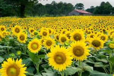 The Anderson's Sunflowers originally began many years ago when Byron Anderson decided to plant sunflowers rather than corn or wheat in his field.