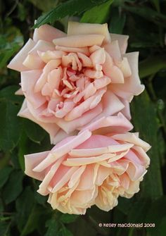 ~Tea Noisette Rose: Rosa 'Elie Beauvillain' (France, 1887)