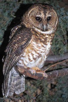 Rusty-barred Owl Strix hylophila - Google Search