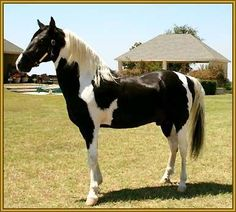 Tennessee Walking Horse | ... Tennessee Walking Horse stallion, ROCK WITH PRIDE #942654 is for sale Tennessee Walking Horse, All The Pretty Horses, Beautiful Horses, Wyoming, Canadian Horse, Chincoteague Ponies, Morgan Horse, Horse Shirt, Horses For Sale