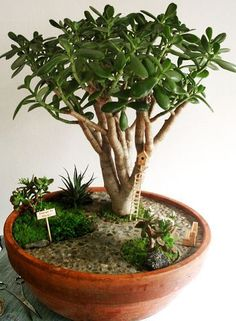 What to do when a jade plant gets to leggy. Use it in the fairy garden as a mature tree.