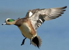Duck Pictures, What The Duck, Duck Season, Decoy Carving, Ducks Unlimited, Duck Hunting, Bird Species, Taxidermy, Rifles