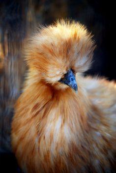 animals-animals-animals:  Silkie Chicken (bytoshiami)