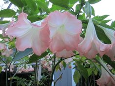 I sell Angel Trumpets. I can ship them any where in the United States I have many varieties and colors. To order, call me: 850-591-2100