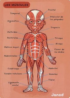 Could be useful for teaching an anatomy lesson in Spanish Medicine Notes, Medicine Student, Spanish Vocabulary, Teaching Spanish, Health Unit, Medical Anatomy, Muscle Anatomy, Med Student, Anatomy And Physiology