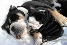 blue english bulldog pictures