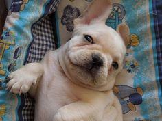 baby frenchie!    #french bulldog #bulldog #puppy #frenchie