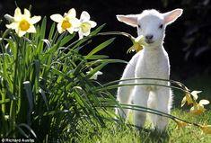 wittle baby lamb <3