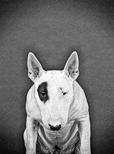 Diezel the Bull Terrier on Behance
