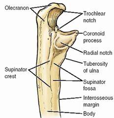 supinator crest of ulna | ... coronoid process 4 radial notch 5 tuberosity of ulna 6 supinator crest