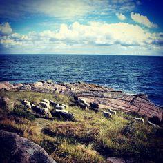 Sheep on Bornholm #sheep #bornholm #balticsea #ostsee #denmark #danmark #dänemark