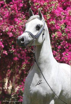 Mahala Al Lahab x Mahasin II