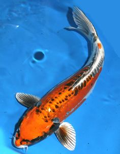 Black Butterfly Koi | Halloween Decorations Outside At ...