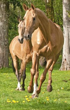 Akhal Teke-Directly descended from the wild steppe horse, the Turkoman is the legendary horse from Fergana and Bactria where it was called the Bactrian or Turanian horse and used by the great leaders Darius and Alexander.