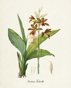 Botanical Print Redoute Orchid Flower Limodorum by VisualNature