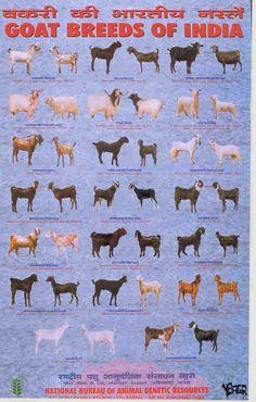 NBAGR Posters on Indian breeds