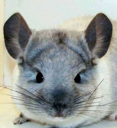 I just really want a chinchilla. Is that so bad? <3