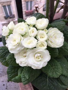 Primevère à fleurs doubles blanches, Primula Belarina 'Snow', sur mon balcon en fin d'hiver, Paris 19e (75)