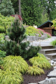 As an anchor plant, Thunderhead pine (Pinus thunbergii 'Thunderhead', USDA zones 5 to 10; find your zone), shown in this photo, stands regally in a sea of chartreuse. Its muscular upright growth habit pulls the eye up the steps and onto the garden's next level while contrasting with the low mounding form of the golden Japanese forest grass (Hakonechloa macra 'Aureola', zones 4 to 9).