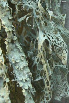 Ramalina menziesii lichen
