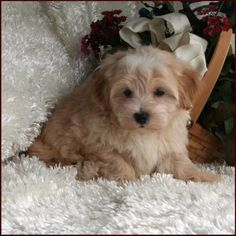 Elise's Maltipoo puppies from the puppy specialists of mixed breed puppies. We are dog breeders raising happy, healthy puppies. Maltipoo Puppies For Sale, Mixed Breed Puppies, Best Small Dogs, Dog Breeders, Poodle Mix, Puppys, Puppy Love, Hair Styles, Hair Plait Styles