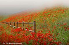 Poppy field by Ole-Henning Svendsen, via 500px