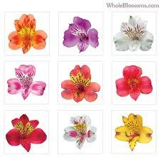 Alstromeria | Also known as Peruvian lilies with multiple blooms on each stem. Colors include white, yellow, orange, pink, red, lavender, purple, cream, white and bi-colors. Alstroemeria are a long-lasting flower.