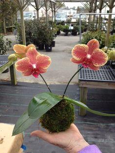 Pinecone Perennials: KOKEDAMA SUCCESS
