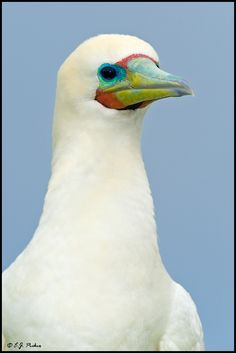 Red-footed Booby by E.J. Peiker