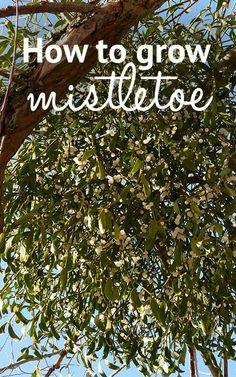 How to grow mistletoe from seed - David Domoney