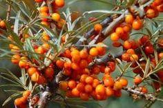 V honbě za vitaminy utrácíme peníze za exotické ovoce, a přitom máme možnost pěstovat keř, který nám cizokrajné plody nahradí. Rakytník v sobě skrývá vitaminy, karoten, třísloviny i stopové prvky.
