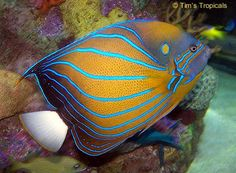 Blue Ring Angelfish, Pomacanthus annularis