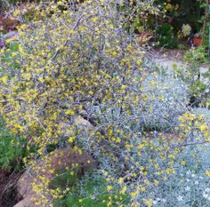 Corokia cotoneaster known as Wire netting bush. This is one conversation piece with contorted branches. Snow in the summer as ground cov. Plant Design, Branches, Conversation, Coast, Wire, Snow, Spring, Garden, Outdoor Decor