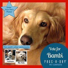 Bambi was found living under a house in the dead of winter with her three puppies. Her foster Mom brought her to my house to meet my other two golden rescues and I knew it was a fit. She is the snuggliest girl ever! Vote for Top Dog! http://ift.tt/1P29vGs #365Dogs #petsofpageaday #DogsofInstagram #DogsofPageADay #DogsofInstaworld #dogs_of_instagram #petstagram #dogstagram #instagramdogs #doglover #instadog #instapet #dogcontest #blacklab #petcontest #dogcontest #dogphoto #dogpic